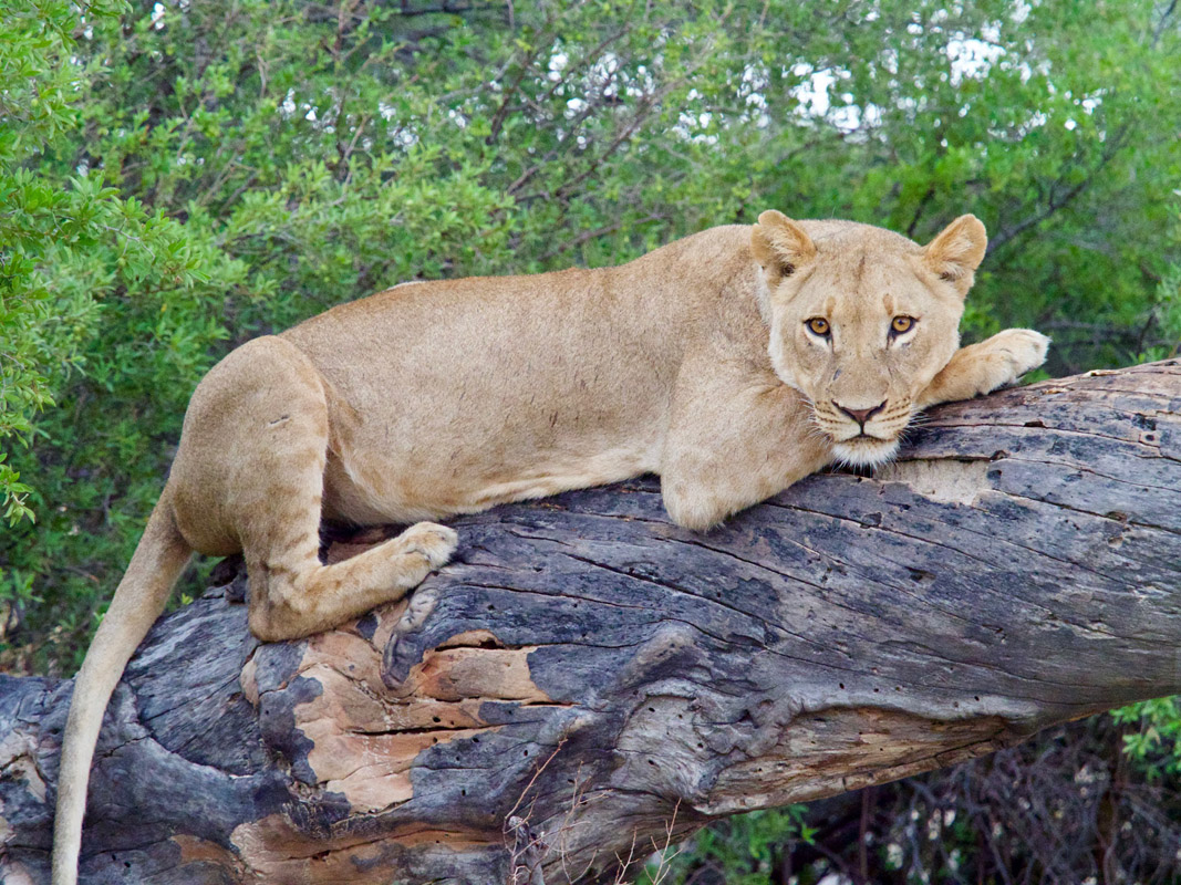 Tasimba Kubatana Lion