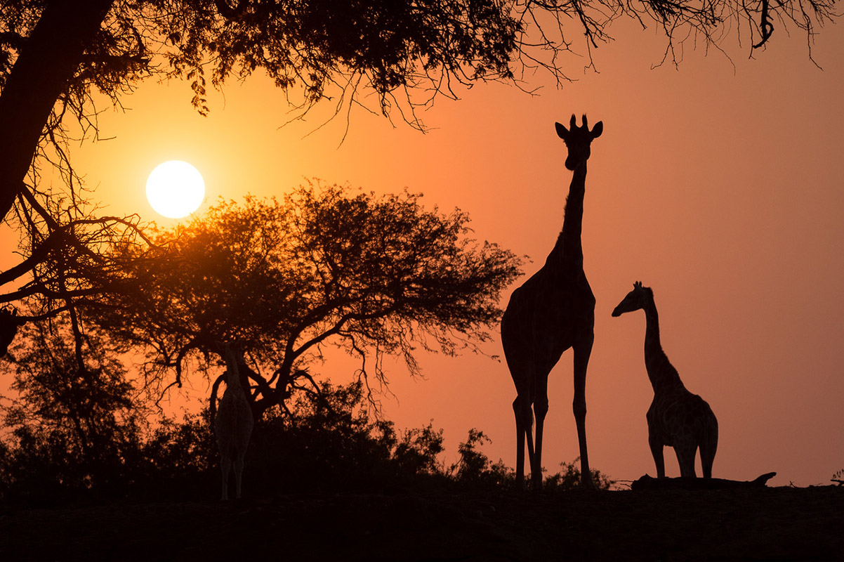 Tasimba, sunset, Giraffe, The Wilderness Will Refresh You