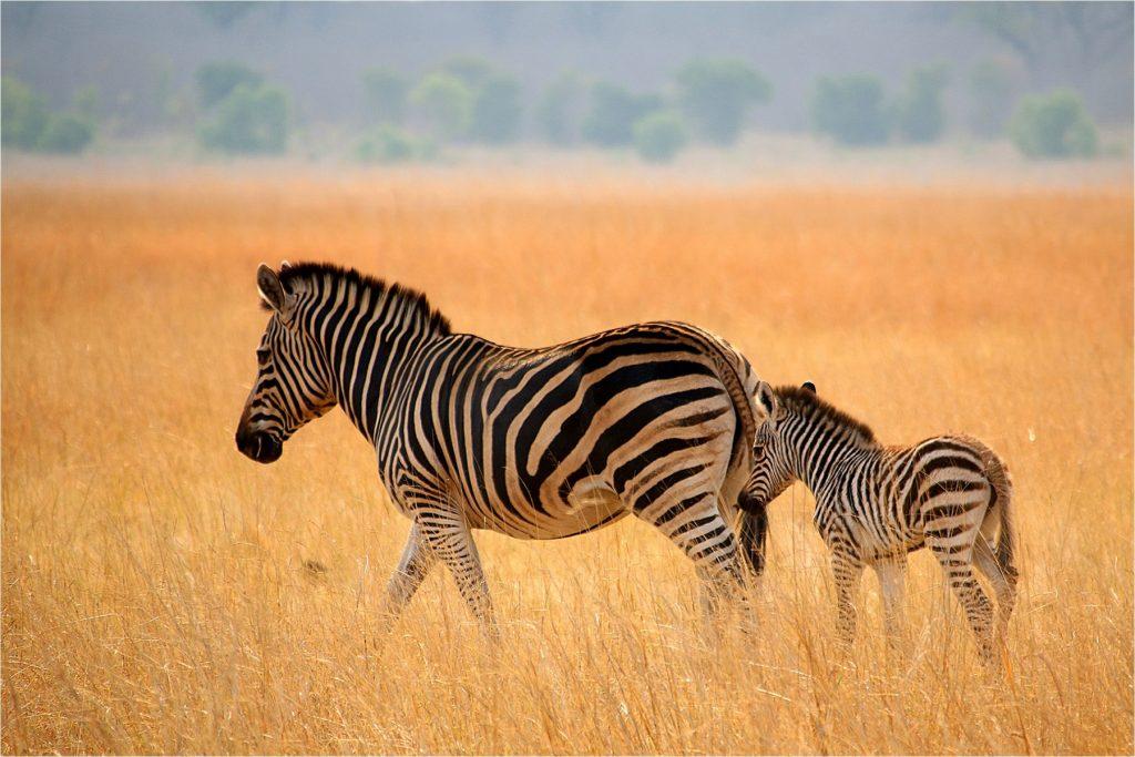 Tasimba We Need a Break - Zebra
