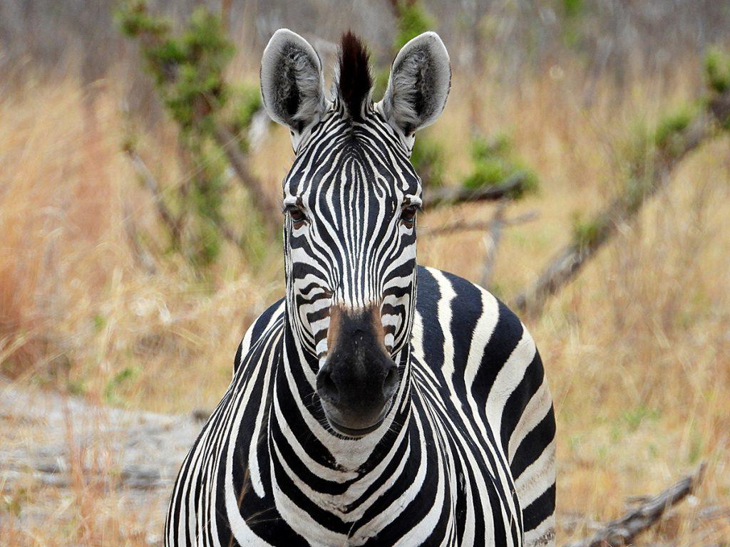 Tasimba - Our Wild Calling - Zebra